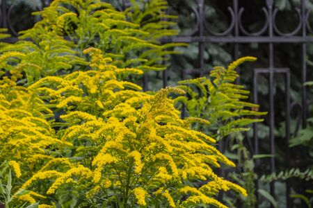 Branches of a blossoming yellow goldenrod against the background of a forged fence. Solidago