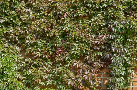 Girlish grape with fruits on a red brick wall. Parthenocissus