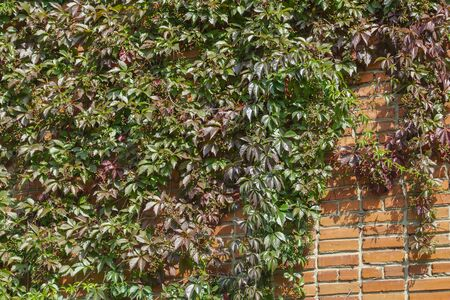 Girlish grapes with fruits on a brick wall. Parthenocissus Reklamní fotografie
