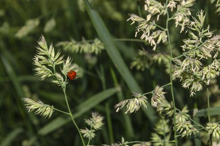 Ladybug sits on the grass of the team hedgehogs. Dactylis glomerata