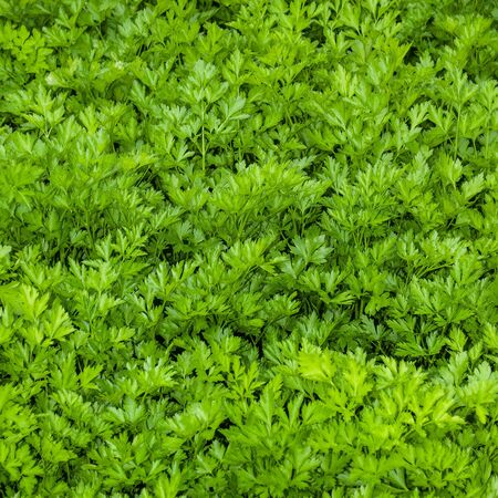 Leaf parsley with bright green fresh leaves. Background. Petroselinum crispum
