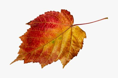 Red-yellow autumn leaf of a decorative maple. Isolate on a white background.