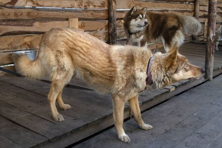 Red husky and red malamute look warily at strangers