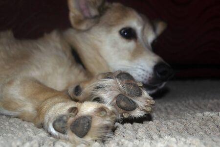 Resting dog's paw close up Stock fotó - 135478082