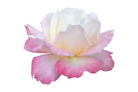 Blooming pale pink rose flower. Isolate on a white background.