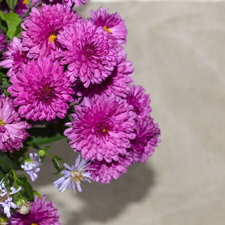 Pink chrysanthemums. Place for text, flowers close-up. Copy space. Blue aster flowers Stock fotó