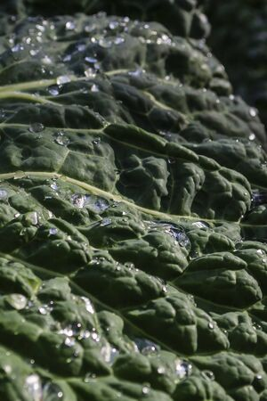 Cabbage leaf with dew drops on it. Natural background.