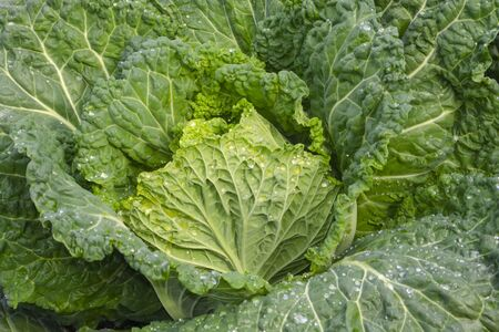 Savoy cabbage in the garden close-up. Brassica oleracea var. sabauda