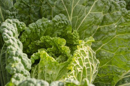 Young unformed swing of savoy cabbage. Natural background. Brassica oleracea var. Sabauda Stock fotó