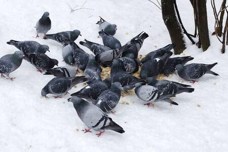 A flock of blue pigeons eats bread crumbs on white snow