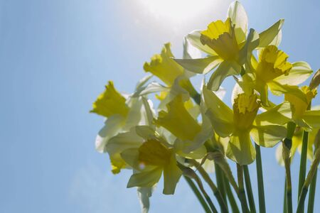Bouquet of yellow and white spring daffodils in bright backlight. Narcissus