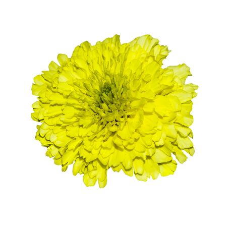 Single yellow terry flower of marigold. Isolate on white background