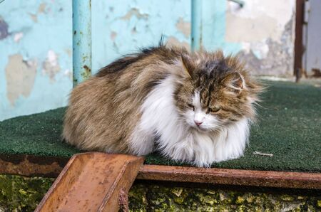 A homeless fluffy multi-colored cat with sick eyes lies on the street