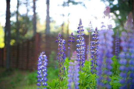 lupines: Lupines Stock Photo