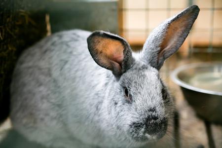 Silver rabbit at homestead close-up