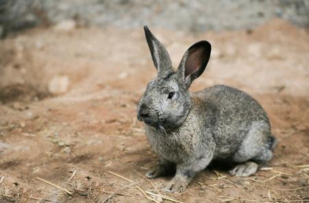 homestead: Grey rabbit at homestead