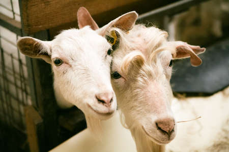 prying: Curious goats at homestead Stock Photo