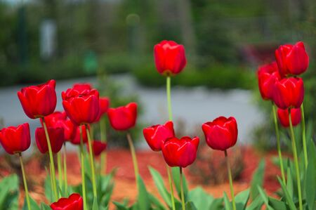 Blooming tulips. Bokeh blur in the background. Spring. Wallpaper for screensavers.