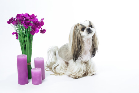 groomed: Small and beautiful Shih Tzu breed dog on white background, bouquet of flowers, candles, gift, animal care, grooming. Stock Photo