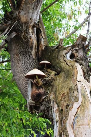 Volvariella mushrooms growing on the old box elder tree (Acer negundo)