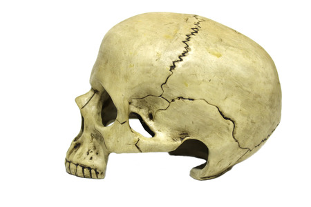 Human skull in profile isolated on white background 免版税图像