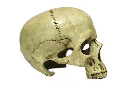 Human skull in profile (right side) isolated on white background 免版税图像