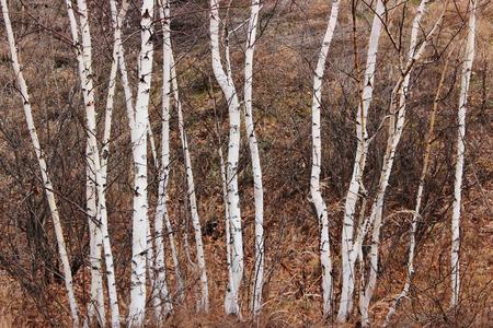 Autumn birch forest background 免版税图像