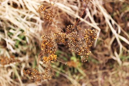 Top view of dry yarrow (Achillea millefolium) in autumn 免版税图像