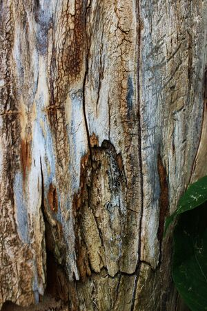Texture of old box elder wood (Acer negundo)