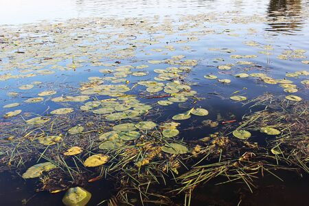 Flowers and leaves of yellow water-lily (Nuphar lutea) floating on the surface of Belaya river in Russia