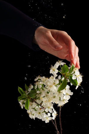 handbreadth: Water splashes on a branch of cherry blossoms, photographed with flash on a black background