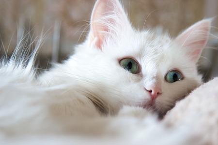 Beautiful white turkish cat with  green eyes