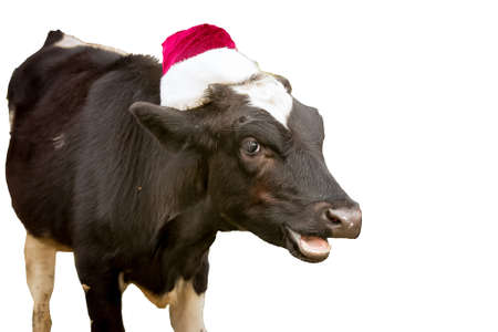 The bull is the symbol of 2021 wearing a Santa Claus hat isolated on white
