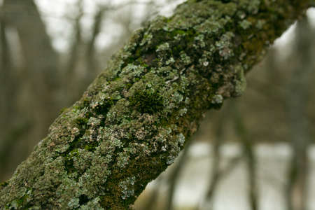 Green lichen on the bark of a tree. The trunk of the tree is affected by lichen. Moss on a tree branch. Textured wood surface with a lichen colony. Ecosystem of mushrooms on the bark of trees. Foto de archivo