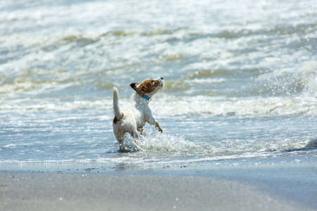 Dog Jack Russell Terrier on the sea. A funny dog barks on the waves and tastes the water with his paw. Lightness and unity with nature.
