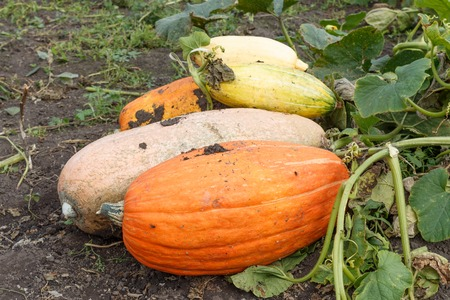 rural area: Pumpkin lying on the ground. Rural area.