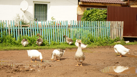 geese in the village in the summer