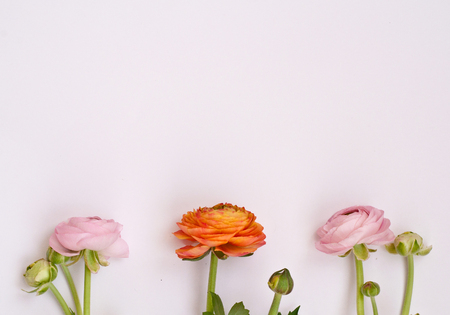 Beautiful  ranunculus flowers  on pink background. Pink and orange flowers. Flat lay, top view.