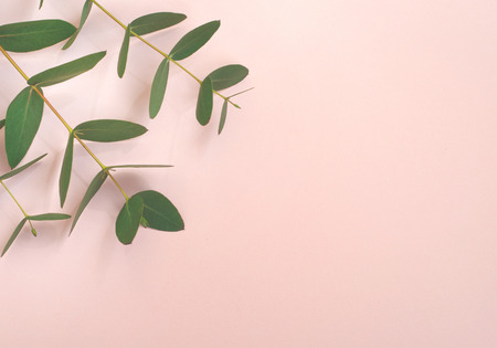 Eucalyptus branches on pink background  Flat lay, top view. 写真素材
