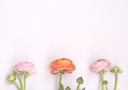 Beautiful  pink and orange  ranunculus flowers  on pink background. Flat lay, top view.