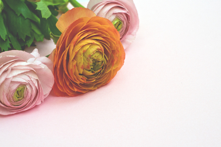 Beautiful  pink and orange  ranunculus flowers  on white background. Flat lay, top view.