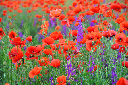 Red poppies on a green field on a sunny day. Spring field of poppies. Red and purple flowers.