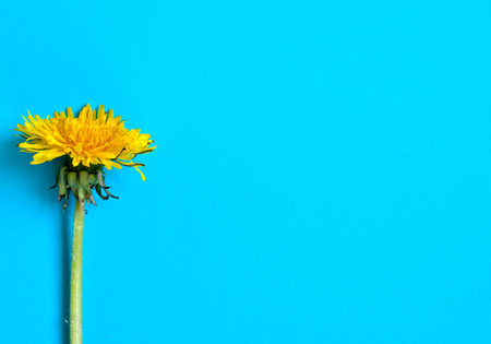 Yellow dandelion on a blue background. Flat lay, top view. 写真素材