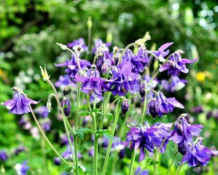Aquilegia purple in spring garden. Blue flowers of aquilegia in natural background.