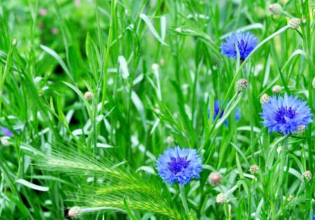 Beautiful blue wildflowers cornflowers. Green grass. Banco de Imagens
