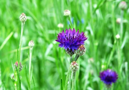 Purple Cornflowers in the summer garden. Beautiful wildflowers cornflowers Banco de Imagens