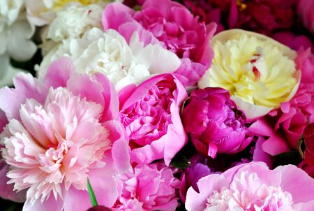 Beautiful pink and red peonies. Elegant bouquet close up. 写真素材