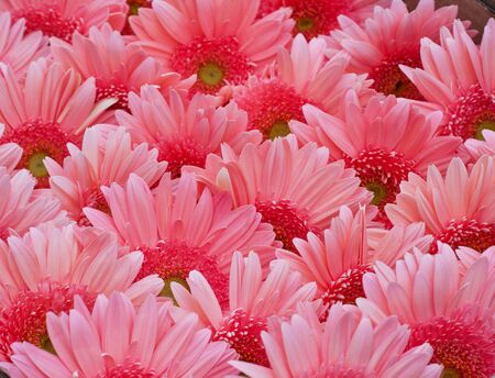 Gerbera Daisy plant with pink flowers in bloom. Flower rainbow background