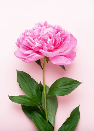 Pink peony flower on a pink background. Top view, vertical format. Concept Mother's Day, Family Day, Valentine's Day.