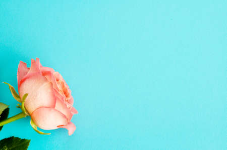 One pink rose on a blue background. Copy space. Concept Mother's Day, Family Day, Valentine's Day Zdjęcie Seryjne
